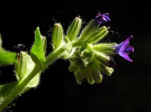 Schmalblaettriges Lungenkraut Bluete blau Pulmonaria angustifolia 12