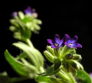 Schmalblaettriges Lungenkraut Bluete blau Pulmonaria angustifolia 13