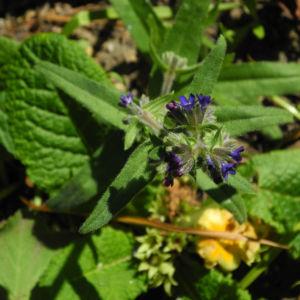 Schmalblaettriges Lungenkraut Bluete blau Pulmonaria angustifolia 19