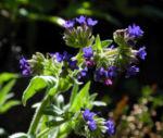 Bild:  Schmalblättriges Lungenkraut Blüte blau Pulmonaria angustifolia