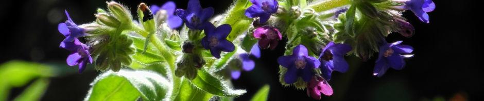 Anklicken um das ganze Bild zu sehen  Schmalblättriges Lungenkraut Blüte blau Pulmonaria angustifolia