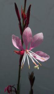 Schmalblaettriges Weidenroeschen Bluete pink Epilobium angustifolium 04