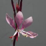 Schmalblaettriges Weidenroeschen Bluete pink Epilobium angustifolium 05