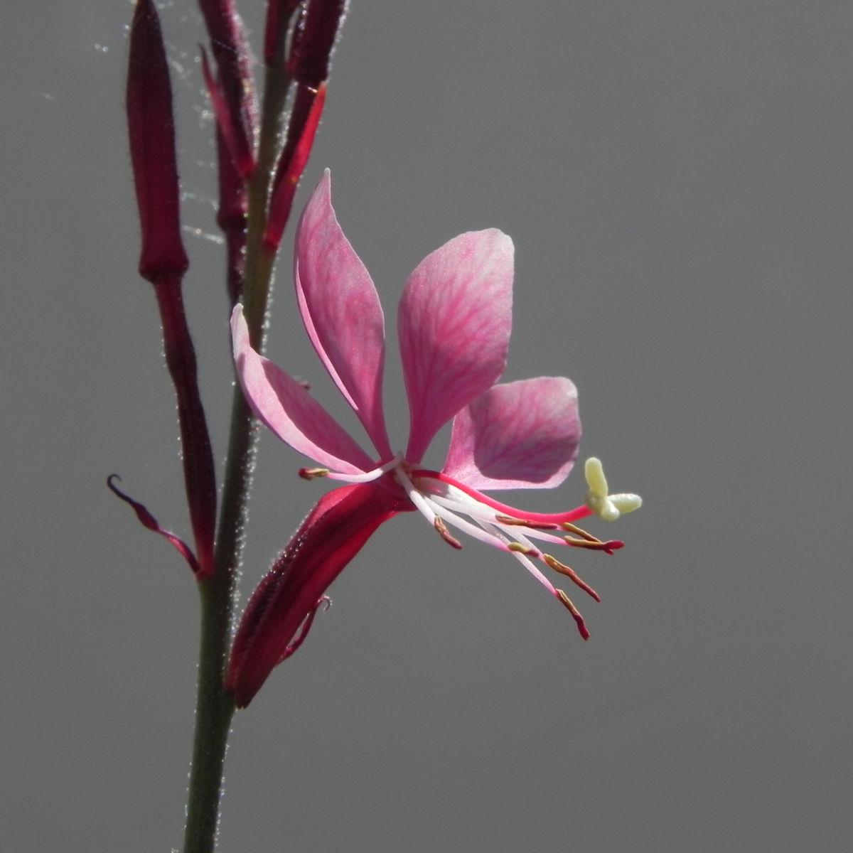 Schmalblaettriges Weidenroeschen Bluete pink Epilobium angustifolium