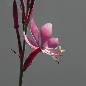 Schmalblaettriges Weidenroeschen Bluete pink Epilobium angustifolium 06
