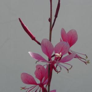 Schmalblaettriges Weidenroeschen Bluete pink Epilobium angustifolium 07