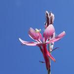 Schmalblaettriges Weidenroeschen Bluete pink Epilobium angustifolium 10