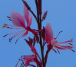 Bild: Schmalblättriges Weidenröschen Blüte pink Epilobium angustifolium