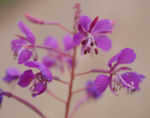 Schmalblaettriges Weidenroeschen Kraut Bluete pink Epilobium angustifolium 01