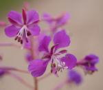 Schmalblaettriges Weidenroeschen Kraut Bluete pink Epilobium angustifolium 02