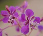 Schmalblaettriges Weidenroeschen Kraut Bluete pink Epilobium angustifolium 03