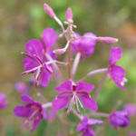 Schmalblaettriges Weidenroeschen Kraut Bluete pink Epilobium angustifolium 04