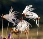 Schmalblaettriges Wollgras Samen silbrig Eriophorum angustifolium 02