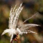 Schmalblaettriges Wollgras Samen silbrig Eriophorum angustifolium 04