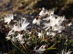 Schmalblaettriges Wollgras Samen silbrig Eriophorum angustifolium 05