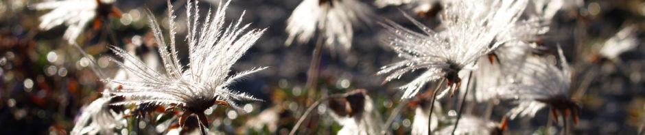schmalblaettriges-wollgras-samen-silbrig-eriophorum-angustifolium