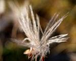 Schmalblaettriges Wollgras Samen silbrig Eriophorum angustifolium 06