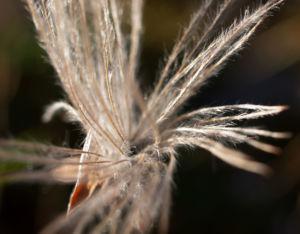 Schmalblaettriges Wollgras Samen silbrig Eriophorum angustifolium 07