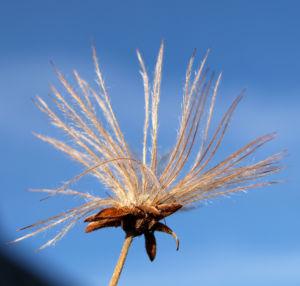 Image: Schmalblaettriges Wollgras Samen silbrig Eriophorum angustifolium