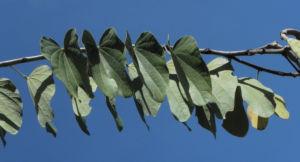 Schmetterlings Bauhinie Blatt gruen Bauhinia purpurea 05