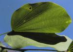 Schmetterlings Bauhinie Blatt gruen Bauhinia purpurea 08