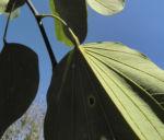 Schmetterlings Bauhinie Blatt gruen Bauhinia purpurea 09