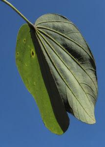 Schmetterlings Bauhinie Blatt gruen Bauhinia purpurea 11