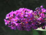 Schmetterlingsflieder Bluete lila Buddleja davidii 18