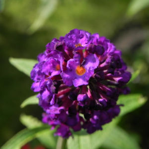 Schmetterlingsflieder Bluete lila Buddleja davidii 22