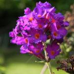 Bild: Schmetterlingsflieder Blatt grün Blüte lila Buddleja davidii