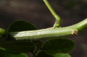 Schmetterlingskassie Winter Cassia Blatt gruen Cassia bicapsularis 05