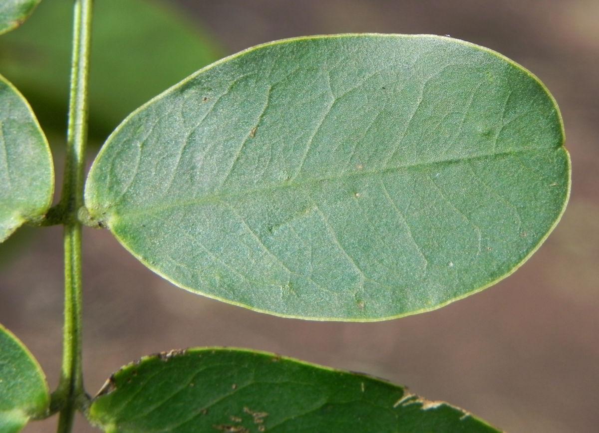 Schmetterlingskassie Winter Cassia Blatt gruen Cassia bicapsularis