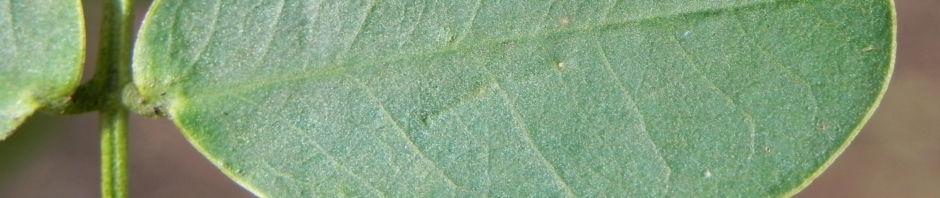 schmetterlingskassie-bluete-gelb-cassia-bicapsularis