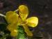 Zurück zum kompletten Bilderset Schmetterlingskassie Blüte gelb Cassia bicapsularis