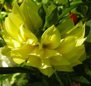 Bild: Schmuck Dahlie Bluete gelb Dahlia