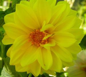 Schmuck Dahlie Bluete gelb Dahlia 03