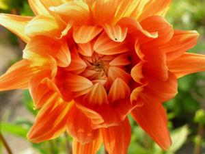 Schmuck Dahlie Bluete orange Dahlia 01