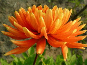 Schmuck Dahlie Bluete orange Dahlia 03