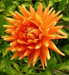 Schmuck Dahlie Bluete orange Dahlia 05