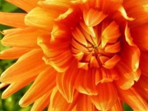 Schmuck Dahlie Bluete orange Dahlia 06