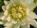 Zurück zum kompletten Bilderset Schmuck Dahlie Blüte weiß Dahlia