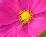 Schmuckkoerbchen Bluete pink Cosmea bipinnatus 01