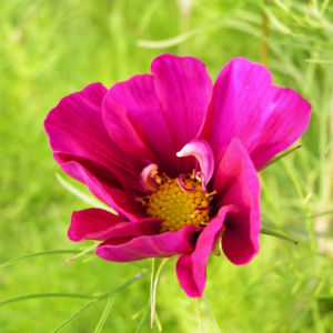 Bild: Schmuckkoerbchen Bluete pink Cosmea bipinnatus