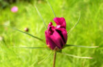 Schmuckkoerbchen Bluete pink Cosmea bipinnatus 03