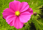 Schmuckkoerbchen Bluete pink Cosmea bipinnatus 04