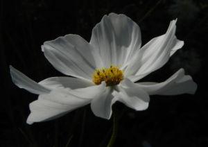 Schmuckkoerbchen Bluete weiss pink Cosmea bipinnata 02