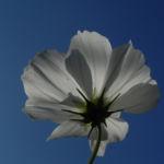 Schmuckkoerbchen Bluete weiss pink Cosmea bipinnata 06