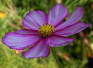 Schmuckkoerbchen Bluete weiss pink Cosmea bipinnata 11
