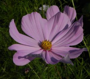 Schmuckkoerbchen Bluete weiss pink Cosmea bipinnata 15