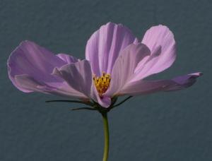 Schmuckkoerbchen Bluete weiss pink Cosmea bipinnata 16